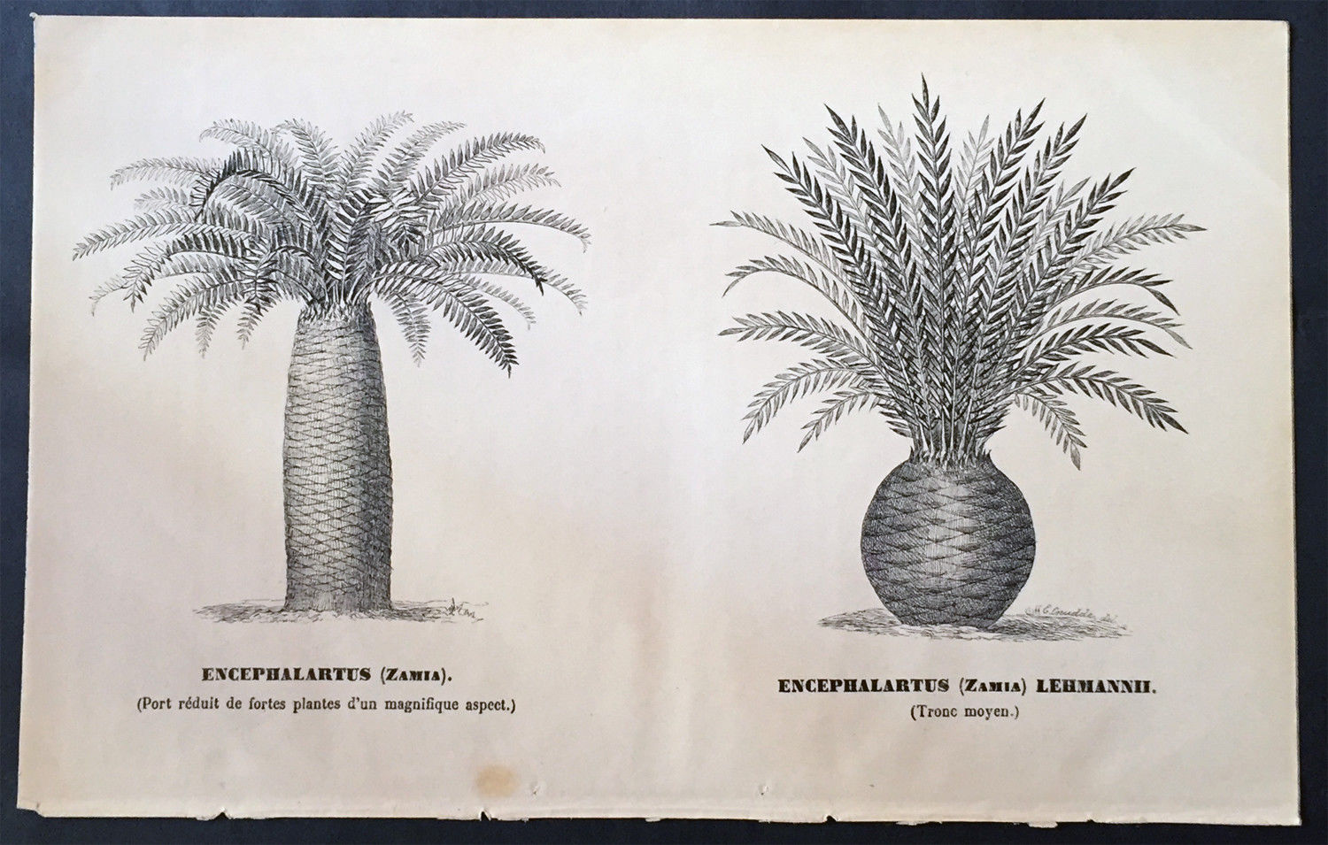 Image from https://www.ebay.com/itm/1880-Edwin-Cruddle-Original-Antique-Print-of-Cycad-Plants-or-Bread-Trees-Palms-/372485935275
